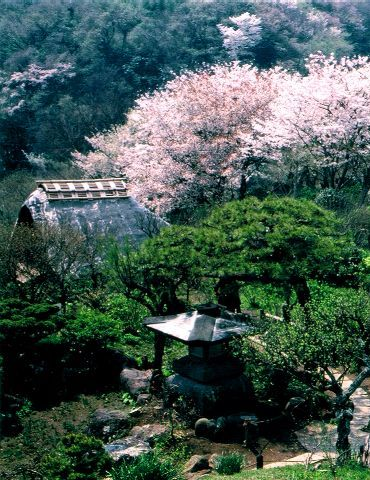 The garden of the season of a cherry tree